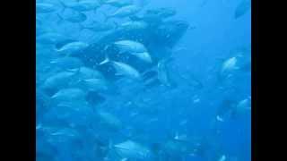 Дайвинг на Самуи. Китовая акула. Самуи, Сейл Рок 07/2013.(Дайвинг на Самуи всегда полон сюрпризами. Порой, можно встретить вот такую красавицу., 2013-07-15T12:45:52.000Z)