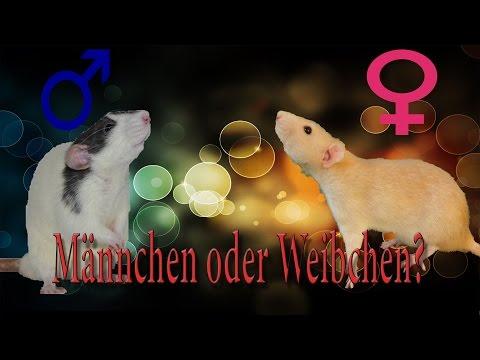 Rattenhaltung aber RICHTIG: Männchen oder Weibchen?
