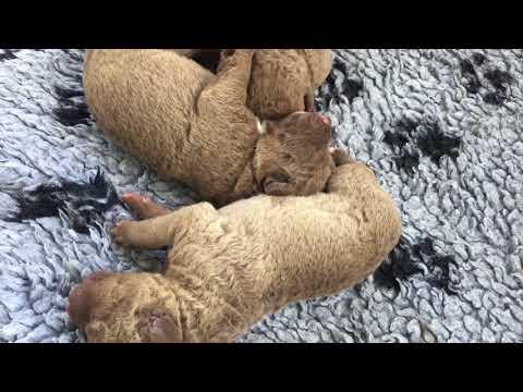 Chesapeake Bay Retriever Puppies 7 Days