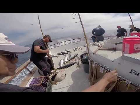 Yellowtail fishing on the Pacific Islander Sept.23.14