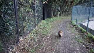 2013 1130たんちゃんとニャンコの散歩 この日、猫パンチを浴び怒ってい...