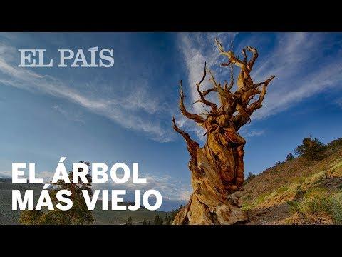 El árbol más