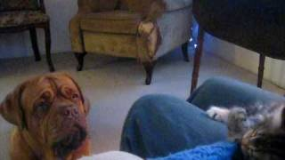 Dogue De Bordeaux (mukwa) Playing With Kitten