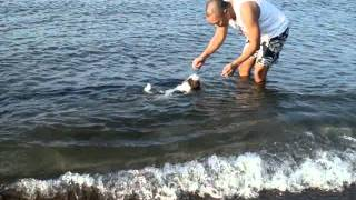 Shih Tzu Pup Swimming At The Beach!