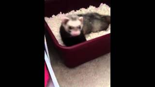 How to litter train your ferret