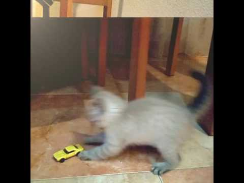 :-) 😍 Cutie little Cat playing with Matchbox Cars