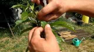 Formacion de Planta de Castaños Parte II. Poda en flor.