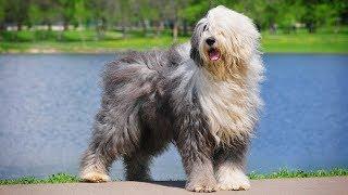 Порода собак Бобтейл - Описание