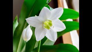 эухарис (амазонская лилия): пересадка, деление. Условия содержания. Не цветёт - дам совет