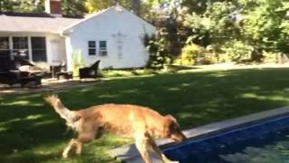 Golden Retriever Jumping In Pool (slow Motion)
