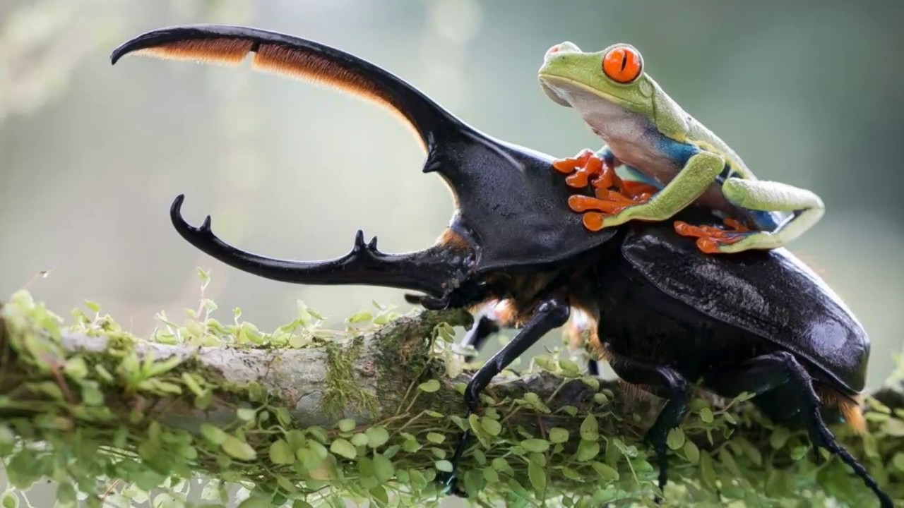 Hercules beetle Facts Interesting Facts about Hercules beetle Facts ...
