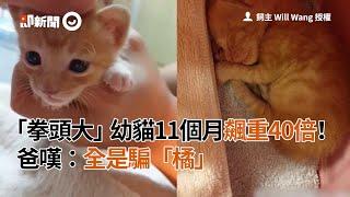 「拳頭大」幼貓11個月飆重40倍! 爸嘆:全是騙「橘」