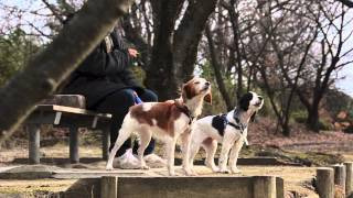New Year Howling (brittany Spaniel And English Cocker)