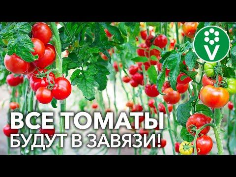 ВСЕ ПОМИДОРЫ ЗАВЯЖУТСЯ БЕЗ ПОДКОРМОК И ОБРАБОТОК! Маленькая хитрость для увеличения урожайности