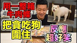 【狠愛演】 用一整箱牛肉條,把貪吃狗圍住! 『反應超好笑』😂😂😂 thumbnail
