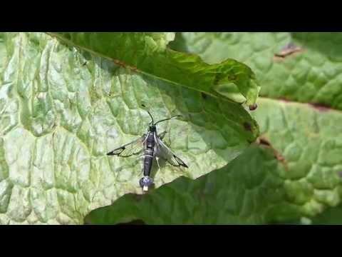 Clearwing Moth Self-grooming フタスジコスカシバ♂(蛾)の身繕い