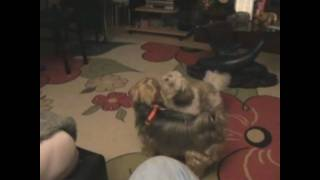 Shih Tzu Vs Yorkshire Terrier