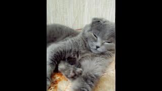 Характер вислоухого кота