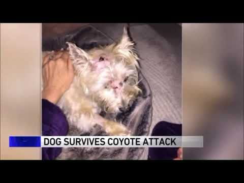 """Coyote attacks """"Boozer"""" the Cairn Terrier in his Illinois backyard"""