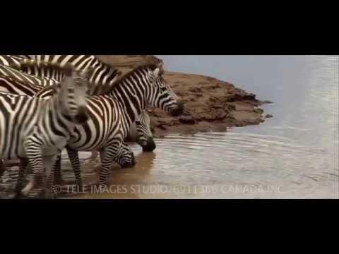 Crocodile hunting zebras (Wild Opera) ©
