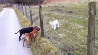 Staffies meet a cute spring lamb.