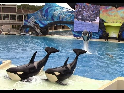 Killer Whales: Up Close (Full Show) at SeaWorld San Diego - 6/13/15