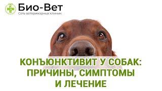 Конъюнктивит у собак: причины, симптомы и лечение