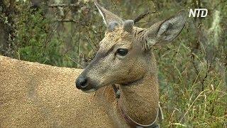 Пара южноандских оленей поможет сохранить свой исчезающий вид