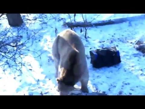 Медведь напал на рыбаков flv