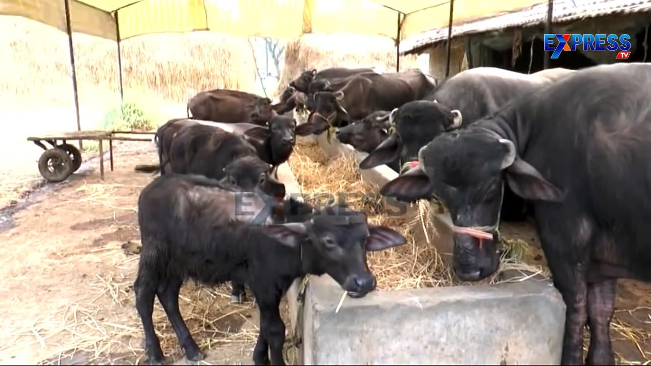 Murrah Buffalo Dairy farming Success story from East Godavari :amulyatimes