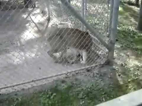 Little Oshawa General meets a Cougar  at the zoo