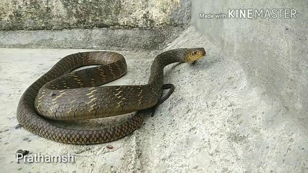 Understanding the rat snake - The Hindu
