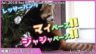 姫路セントラルパークのレッサーパンダジャジャ(佳佳)が とてもマイペー...