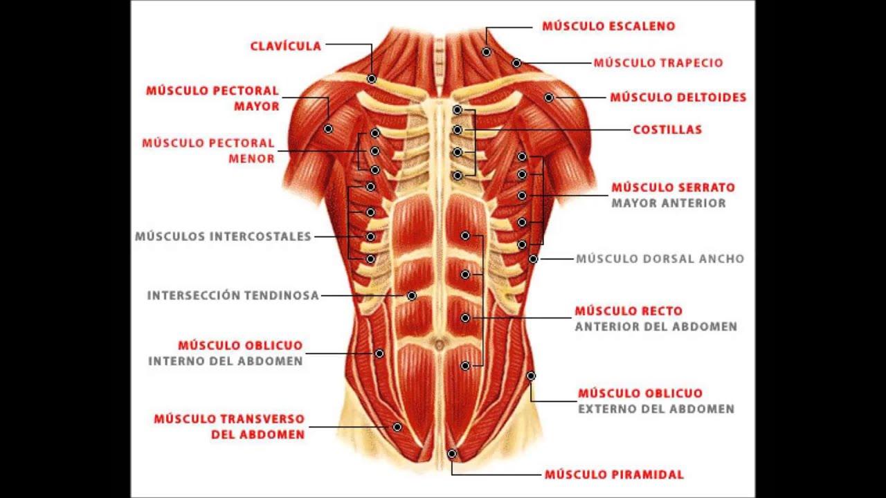 Sistema Muscular - YouTube