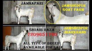 JAMNAPARI BAKRA FOR SALE|ANIMALS VLOG KOLKATA|बकरी सेल काम डैम मैं|JAMSHEDPUR GOAT FARM