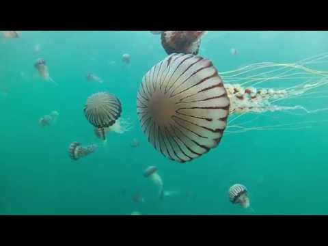 Compass Jellyfish