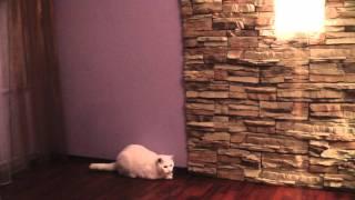 Кот британец охотник