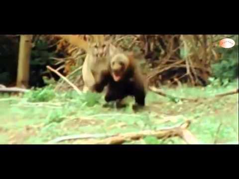 [HD] Thế Giới Động Vật: Gấu con giao chiến Sư tử núi