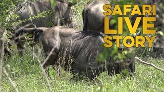 Wildebeest Birth thumbnail
