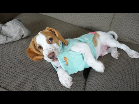 Cute Puppy Hates Ugly Sweater: Cute Puppy Potpie