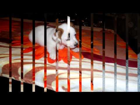 Джек Рассел Терьер фото собаки, цена, описание породы