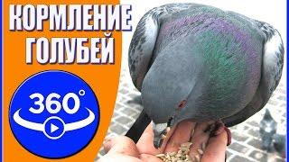 Кормление голубей. Видео 360 градусов.