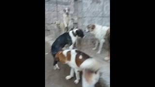 Злые собаки