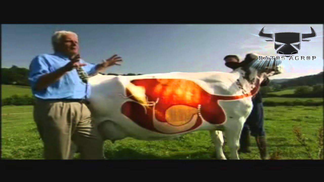 Datos Agrop. Sistema Digestivo de la Vaca - YouTube