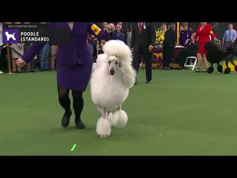 Poodles Standard | Breed Judging 2020