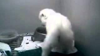 Geotagged American Eskimo  Pomeranian So Cute!!!!