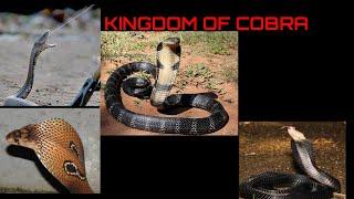 KAMU HARUS TAU PERBEDAAN COBRA DAN KING COBRA