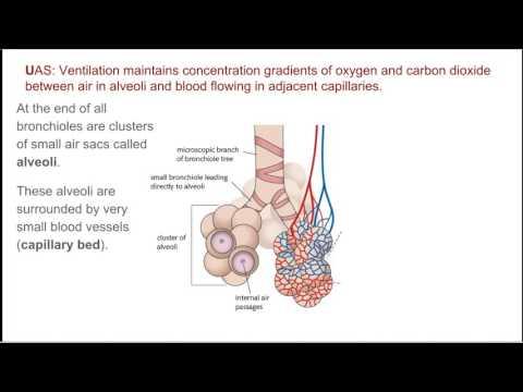 Biology Tutorial   Gas Exchange