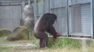 冬至を前に、12月21日にチンパンジーにカボチャをプレゼントしました。 ...