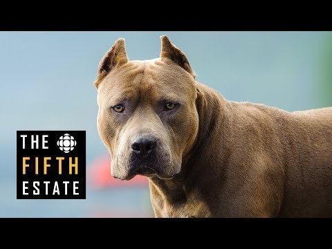 Pit Bulls Unleashed: Should They Be Banned? - The Fifth Estate